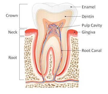 Side view diagram inside of tooth l root canals garland tx